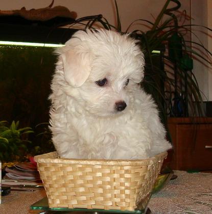 Maltańczyki Małe Białe Pieski 4